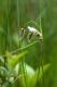 Eriophorum angustifolium [copyright]