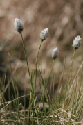 Eriophorum vaginatum [copyright Ghiette Pascal]