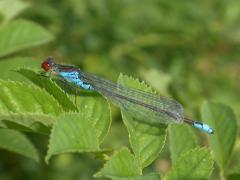 Naïde au corps vert (Erythromma viridulum) Mâle. [copyright Baugnée Jean-Yves]