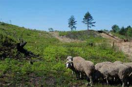 Les Est à laine Mérinos au pied de la montagne de Stockem