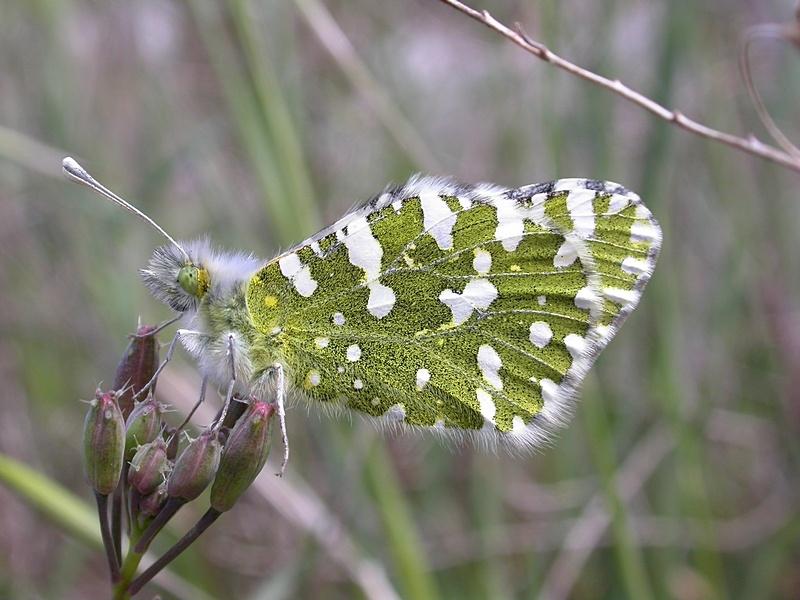 pi ride de la roquette euchloe crameri papillons diurnes insectes la biodiversit en. Black Bedroom Furniture Sets. Home Design Ideas
