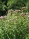 Eupatorium cannabinum [copyright]