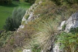 E1.29 - Pelouses à [Festuca pallens] des rochers calcaires