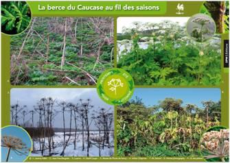 La berce du Caucase au fil des saisons