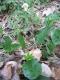 Flore de la hêtraie neutrophile - aspérule, anémone sylvie et gouet tacheté