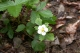 Fragaria vesca [copyright]