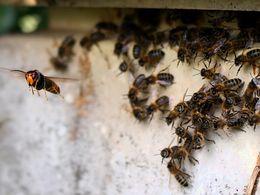 Frelon et abeilles_Flickr_Luc_260