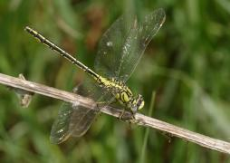G.pulchellusfemelle0508.JPG