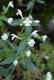 H2.3b - Eboulis rocheux siliceux des substrats franchement acides à [Galeopsis segetum] et très rarement [Cryptogramma crispa]