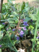 Glechoma hederacea [copyright]