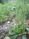 Globularia bisnagarica [copyright Wibail Lionel]
