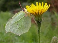 femelle de Citron (Gonepteryx rhamni) [copyright Imbaud Cédric]