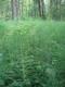 Grande prêle en sous-bois d'aulnaie marécageuse eutrophe