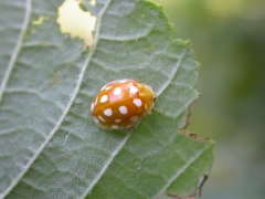 Grande coccinelle orange (Halyzia sedecimguttata) [CC by-sa San Martin Gilles]