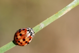 Coccinelle arlequin