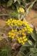 Helichrysum arenarium 2