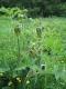 Heracelum sphondylium [copyright]