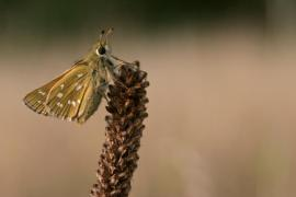 Virgule (Hesperia comma) [copyright Kinet Thierry]