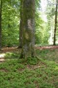 Hêtraie acidophile médio-européenne