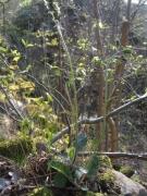Hieracium glaucinum