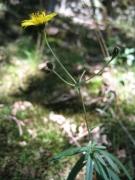 Hieracium umbellatum