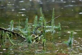 C1.33 - Végétation enracinée submergée des eaux eutrophes