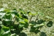 Hydrocotyle ranunculoides berge [copyright NNSS GB Non Native Species Secretariat]