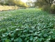 Hydrocotyle ranunculoides tapis, feuilles érigées [copyright NNSS GB Non Native Species Secretariat]