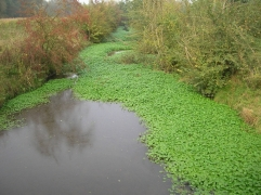 Hydrocotyle fausse-renoncule