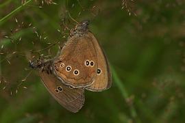 Tristan (Aphantopus hyperantus) [copyright Delacre Jean]