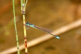 Agrion nain (Ischnura pumilio) Mâle. [copyright Bultot Jacques]