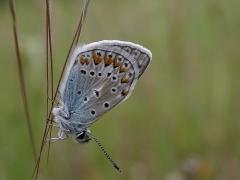 mâle d'Azuré commun (Polyommatus icarus) [copyright Imbaud Cédric]