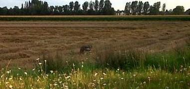 Loup aux Pays-Bas