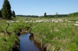 Pâturage des moutons à Saint-Hubert