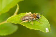 Andrena haemorhoa