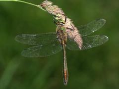 Cordulie bronzée (Cordulia aenea) Mâle. [copyright Kinet Thierry]