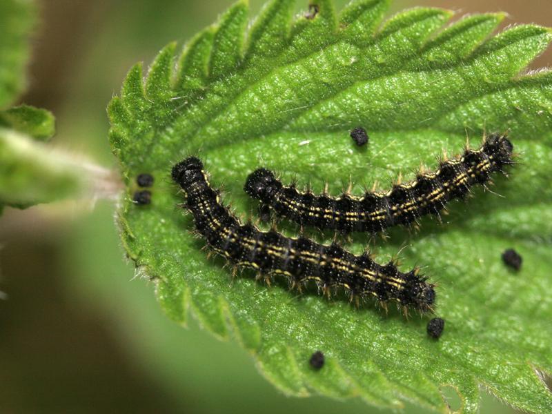 petite tortue aglais urticae papillons diurnes insectes la biodiversit en wallonie. Black Bedroom Furniture Sets. Home Design Ideas