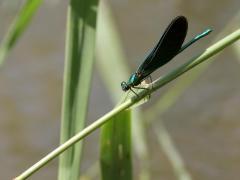 Caloptéryx vierge (Calopteryx virgo) Mâle. [copyright Kinet Thierry]