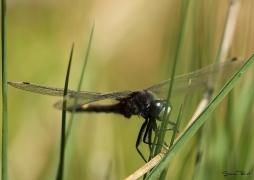 Leucorrhine à gros thorax (Leucorrhinia pectoralis) Mâle [copyright Pierret Séverin]