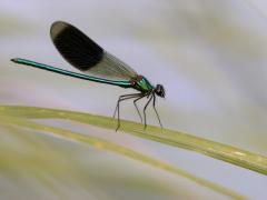 Caloptéryx éclatant (Calopteryx splendens) Mâle. [copyright Kinet Thierry]