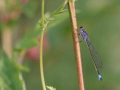 Agrion élégant (Ischnura elegans) Femelle immature, forme violette. [copyright Kinet Thierry]