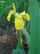 Iris pseudacorus [copyright]