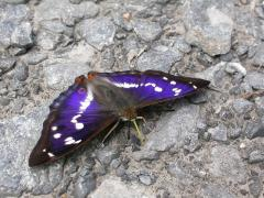 Grand Mars changeant (Apatura iris) [copyright Imbaud Cédric]