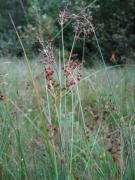 Juncus acutiflorus [copyright]
