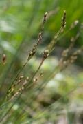 Juncus squarrosus 2