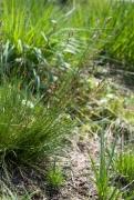 Juncus squarrosus [copyright]