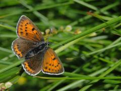 Cuivré écarlate femelle (Lycaena hippothoe) [CC by Dufrêne Marc]