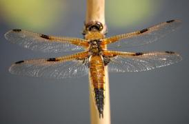 Libellula quadrimaculata