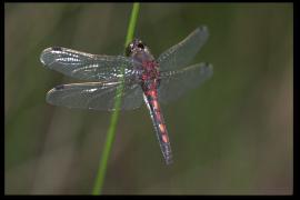 Leucorrhine rubiconde (Leucorrhinia rubicunda) Femelle. [copyright Goffart Philippe]