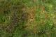 Lande humide avec Calluna vulgaris, Sphagnum et Potentilla erecta